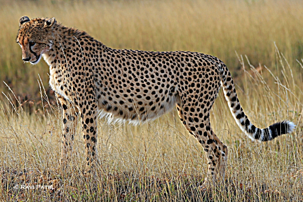 An Expecting Cheetah