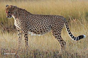 Expecting Cheetah