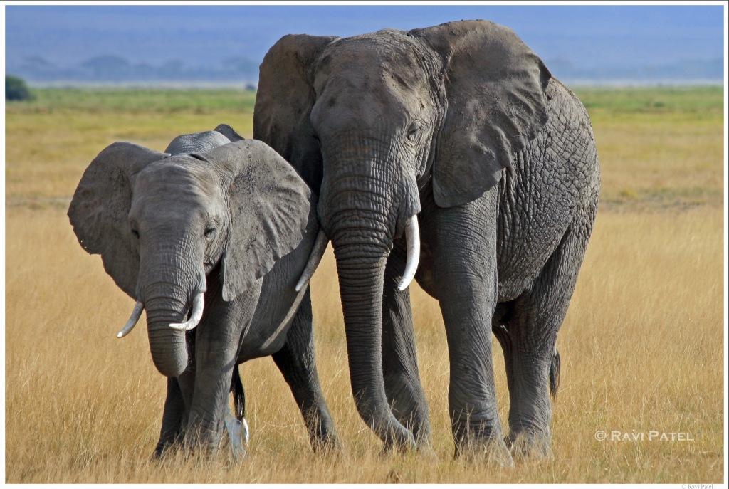 Elephants Posing