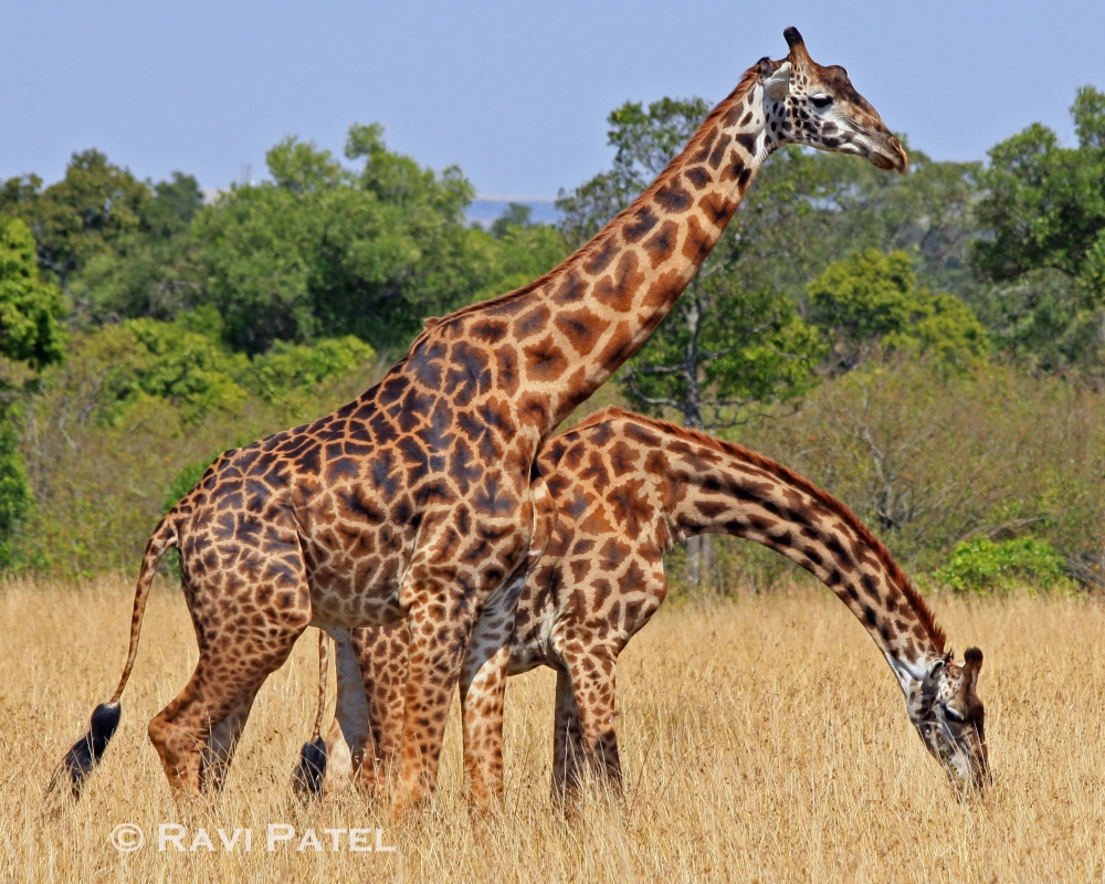 A Pair of Giraffe