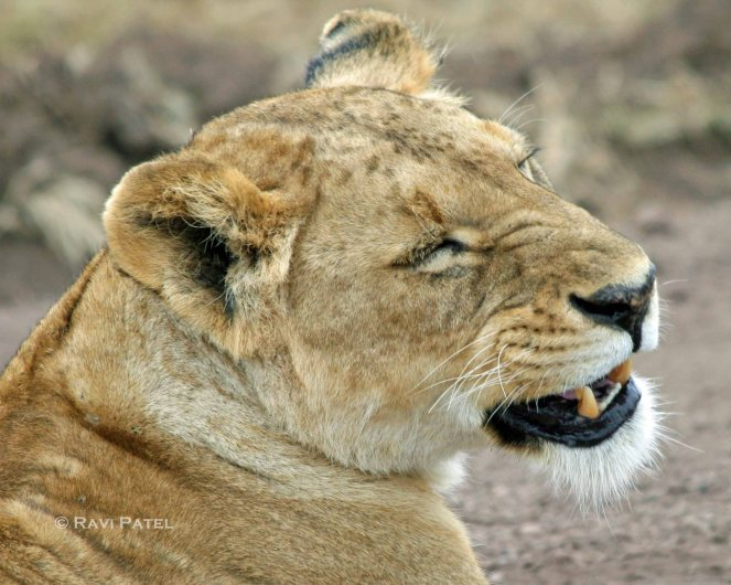 Lioness Provoked