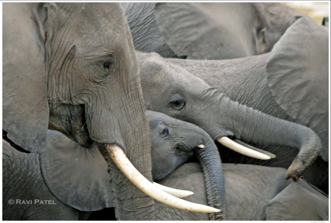 Elephant Faces in the Crowd