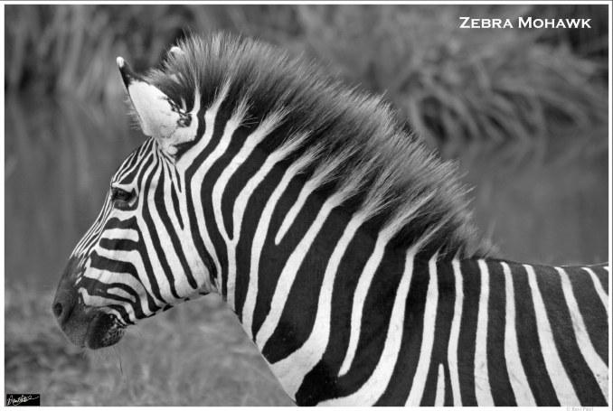 Zebra Mohawk