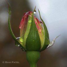 A Tearing Rosebud