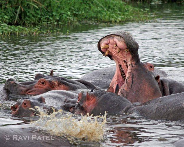 A Hippo Yawn