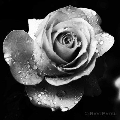 A Jeweled Rose
