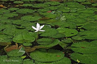 A Lonely Waterlily