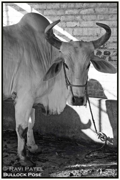 Indian Bullock Pose