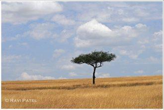 Lonely Acacia