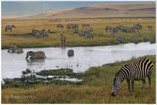 Ngorongoro Zebra Scene
