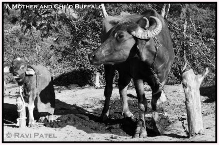 A Mother and Child Buffalo