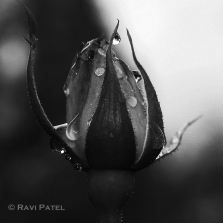 A Sparkling Rose in Black and White