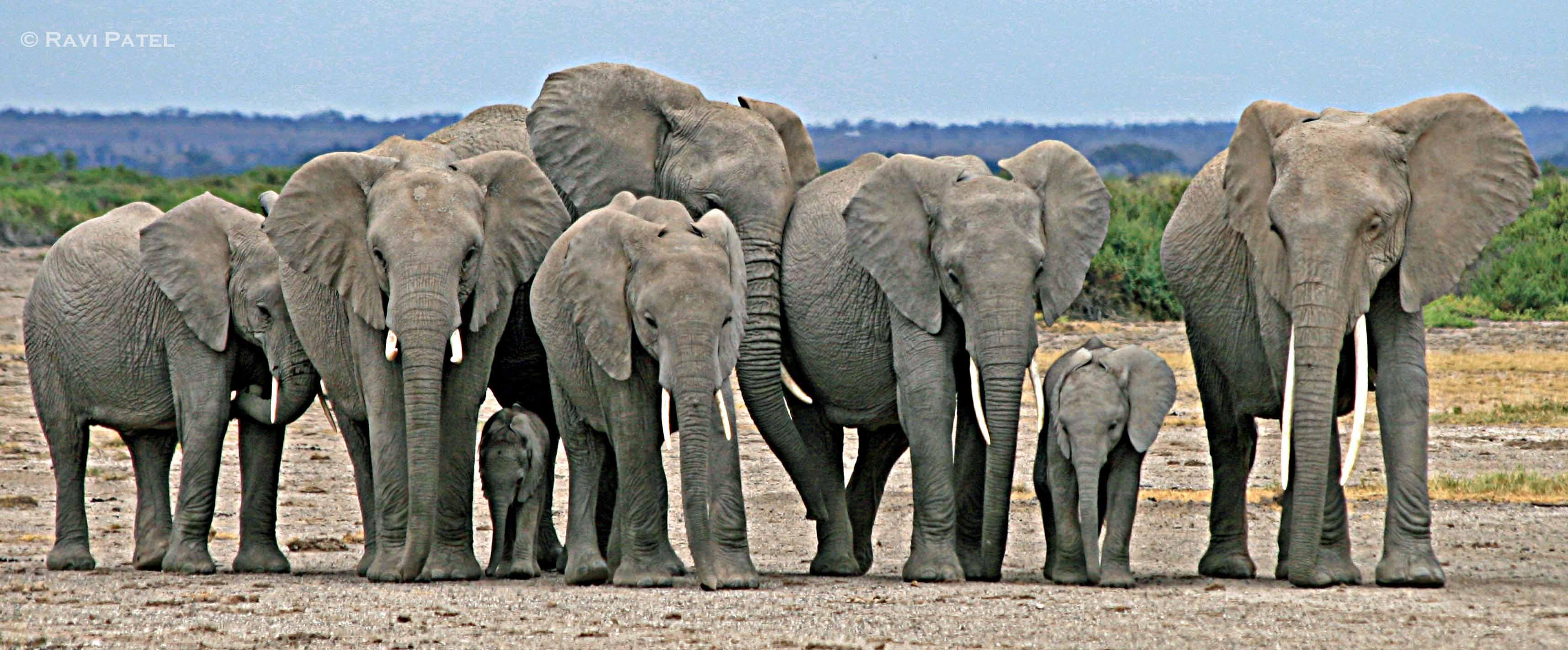 Elephants  Photos by Ravi