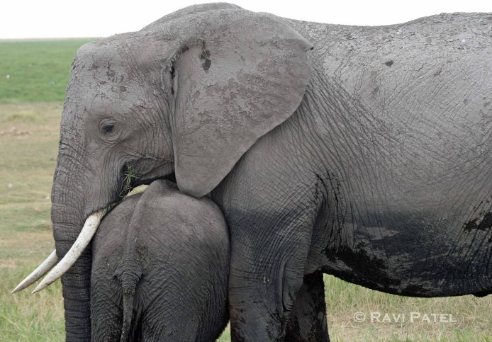 An Elephant Mother's Protection
