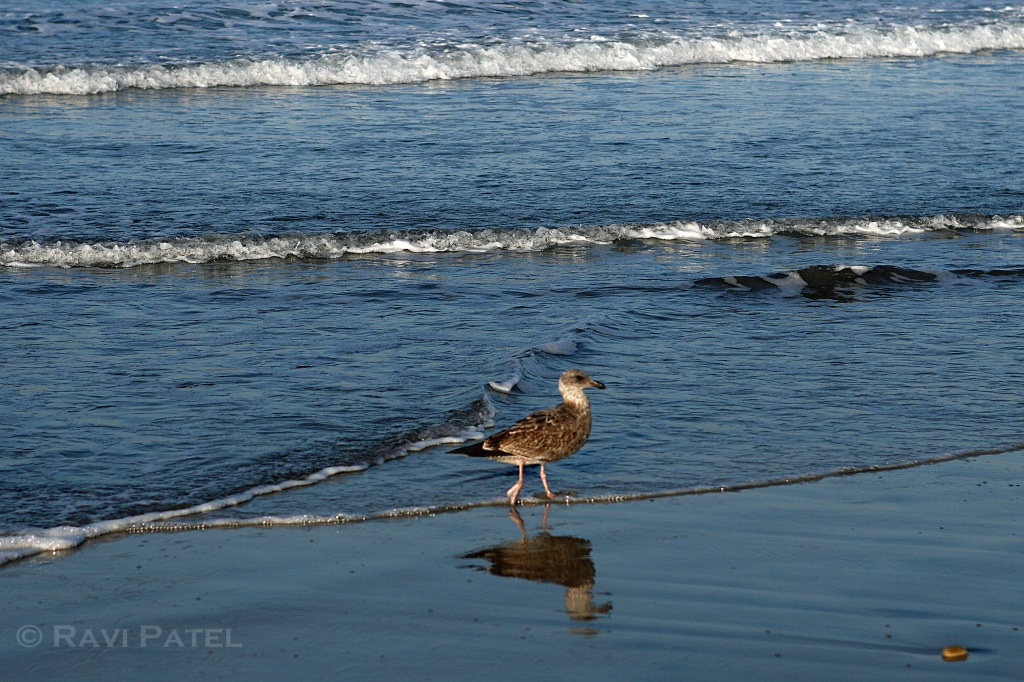 Bird Strolling on the Beach