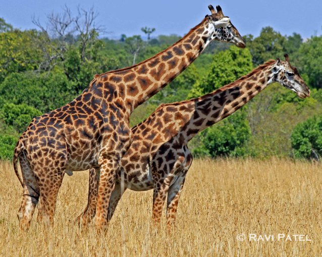 Giraffe Symmetry
