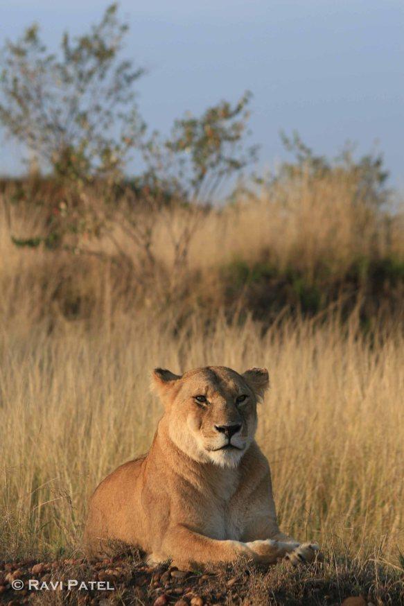 Sunbathing Lioness
