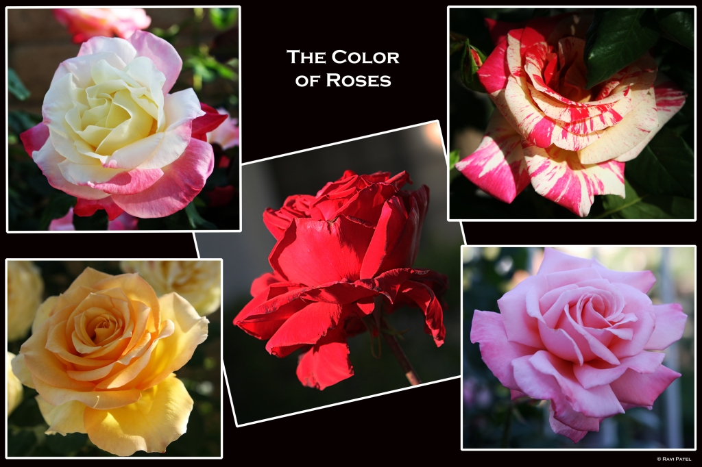 The Color of Roses