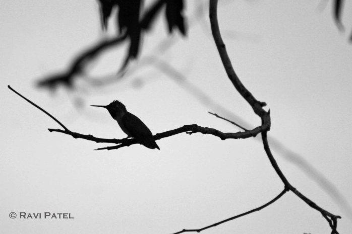 Hummingbird Profile