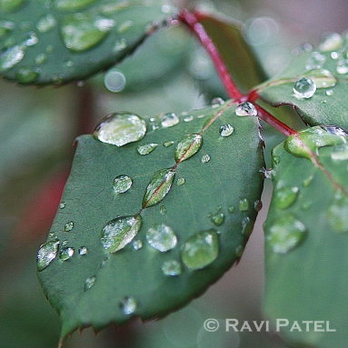 Raindrops on Leaves