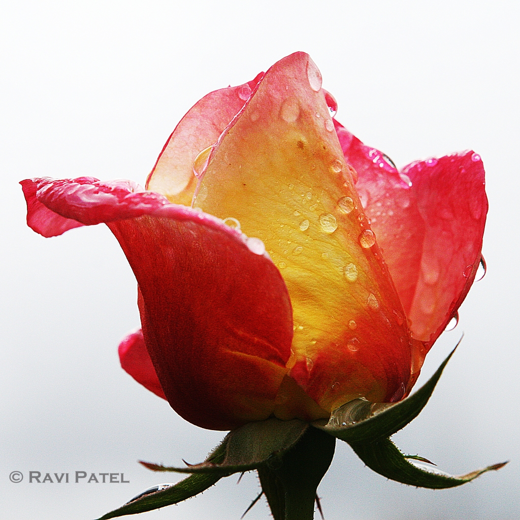 A Rose Adorned with Tears