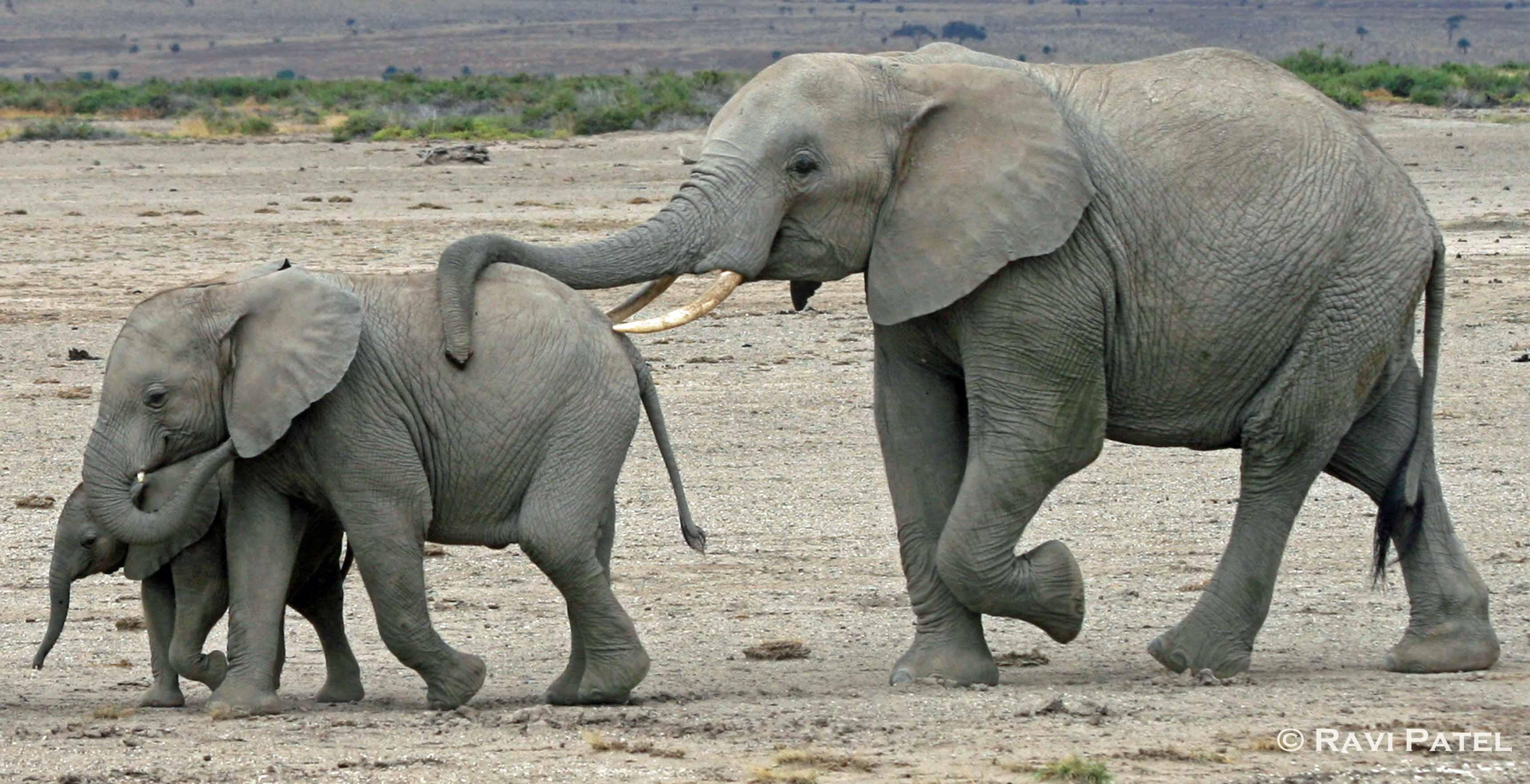 How big is a elephants dick