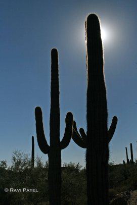 Saguaro Sillhouette