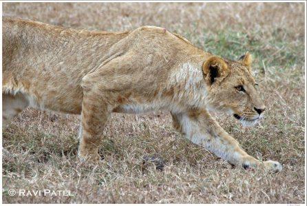 Lioness Stalking