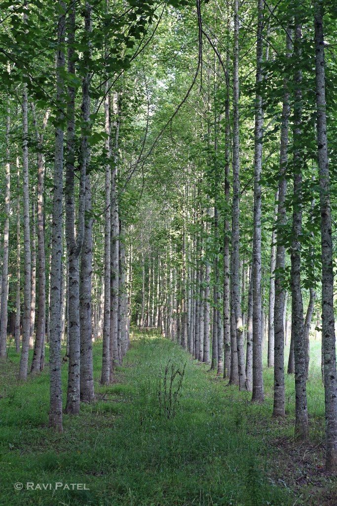 A Row of Oaks