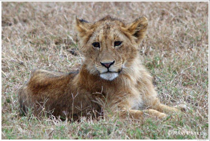 Lion Cub Posing