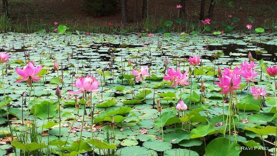 Lotus Waterlilies