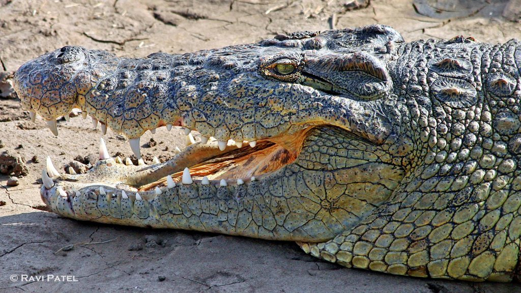 Nile Crocodile Up Close