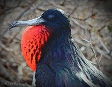 Galapagos Birds - Magnificent Frigatebird Portrait