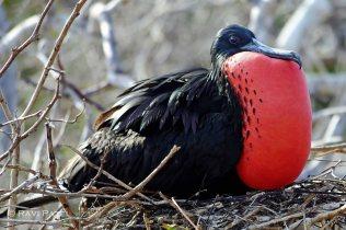 Galapagos Birds - Magnificent Frigatebird Resting its Beak