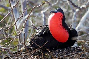 Galapagos Birds - Magnificent Frigatebird