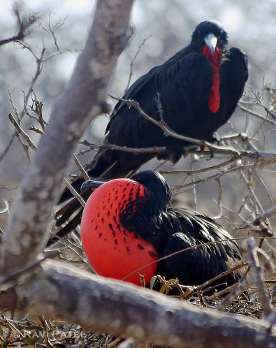 Galapagos Birds - Magnificent Frigatebirds in Contrast