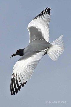 Galapagos Birds - Swallow-tailed Gull Beauty