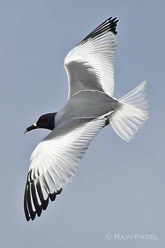 Galapagos Birds - Swallow-tailed Gull Beauty