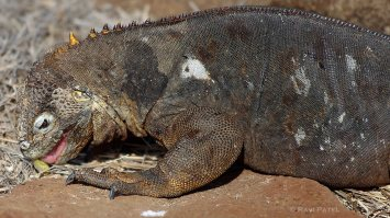 Galapagos Iguanas - Land Iguana Nibbling