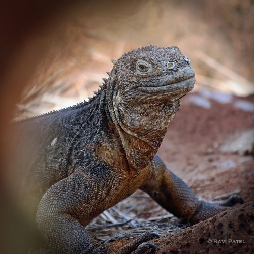 Galapagos Iguanas - Land Iguana Portrait