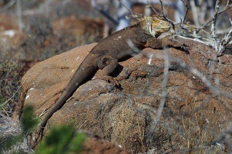 Galapagos Iguanas - Land Iguana Sunbathing