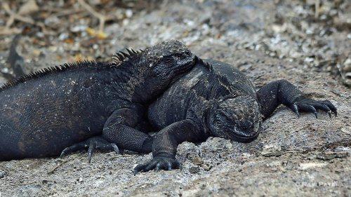 Galapagos Iguanas - Marine Iguanas Cuddling