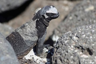Galapagos Iguanas - Young Marine Iguana