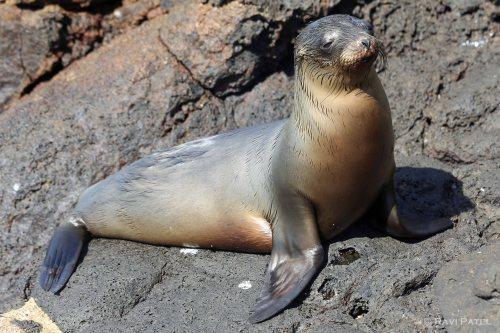 Galapagos Sea Lion Basking