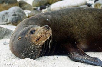 Galapagos Sea Lion - Looking Up