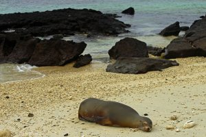 Galapagos Sea Lion - Mostly Sleeping