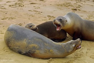 Galapagos Sea Lions - A Little Disagreement