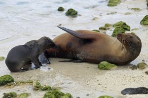 Galapagos Sea Lions - Feeding Pose