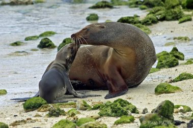 Galapagos Sea Lions - Motherly Love
