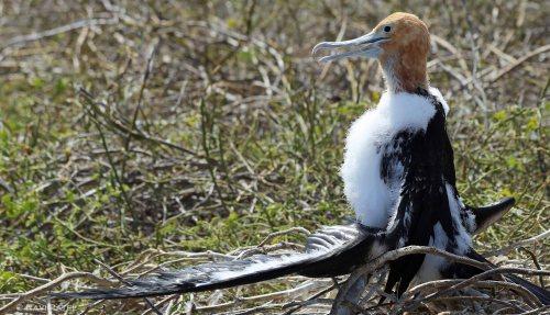 Galapagos Birds -  A Baby Frigatebird